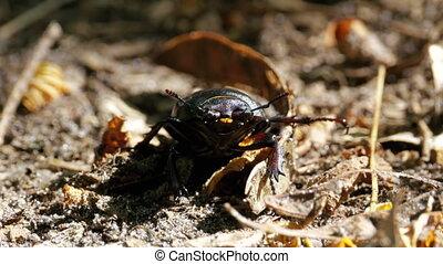 Beetle Deer Creeps on the Ground
