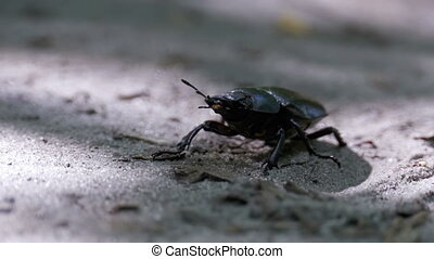 Beetle Deer Creeps on the Ground - Beetle deer creeps on the...