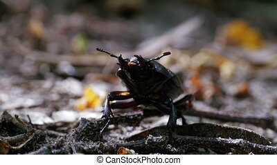 Beetle Deer Creeps on the Ground - Beetle deer creeps on the...