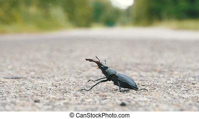 Beetle deer on the asphalt road creeps. Lucanus cervus....