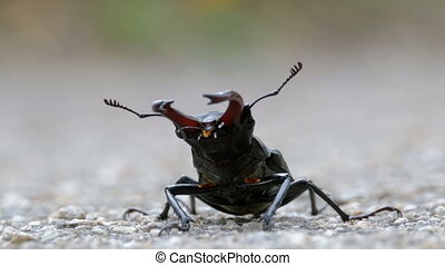 Beetle deer on the asphalt road creeps. Lucanus cervus....