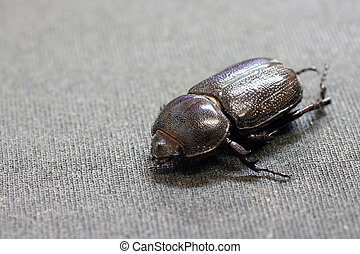 beetle insect lie on the dark floor. It is the largest insect in the world.