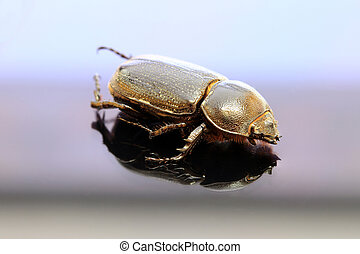 beetle insect lie on the reflex floor. It is the largest insect in the world.