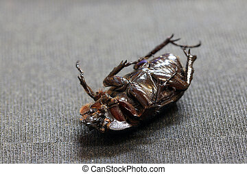 beetle insect lie supine on the dark floor. It is the largest insect in the world.