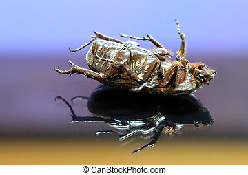 beetle insect lie supine on the reflex floor. It is the largest insect in the world.