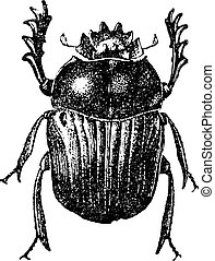 Beetle isolated on white, vintage engraving. - Beetle...