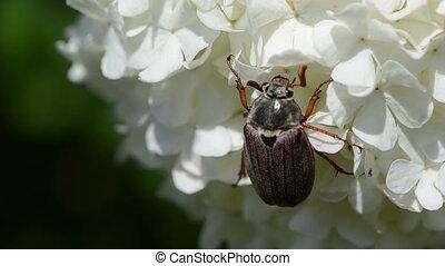 beetle jerks head still - inflorescence swings on top sits...