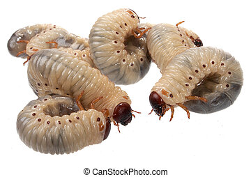 larva the rhinoceros of the bug on a white background
