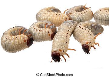 beetle larva rhinoceros - larva the rhinoceros of the bug on...