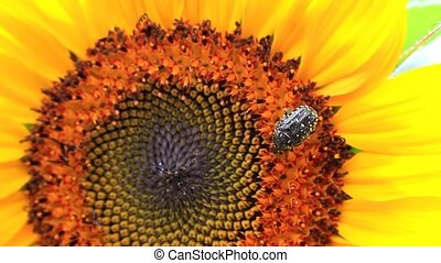 Beetle on a flower of a sunflower