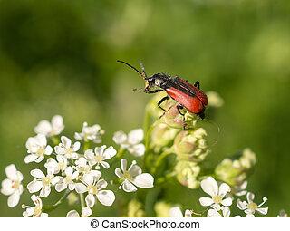 beetle on flowers in summer
