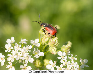 beetle on small white flowers