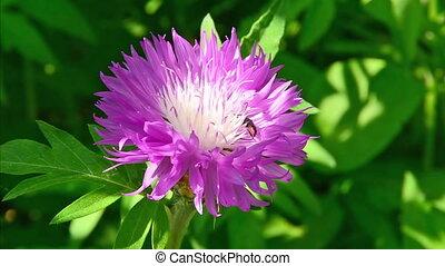 Beetle on the flower of Echinacea.