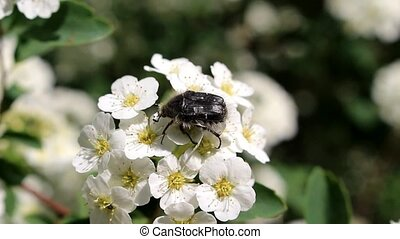 Beetle on the flower of the bride