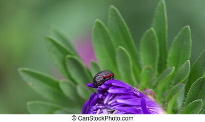 Beetle on the flower - Black and red beetle resting on the...