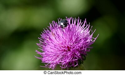 Beetle on thistle blooming on green background