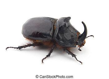 Beetle-rhinoceros