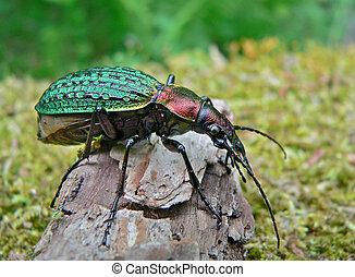 Beetle Schrenck's Carabus - Close up of a rare beetle ...