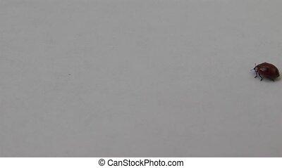 beetle - white background