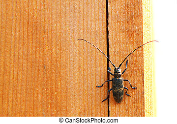 beetle with a large mustache on a wooden texture background
