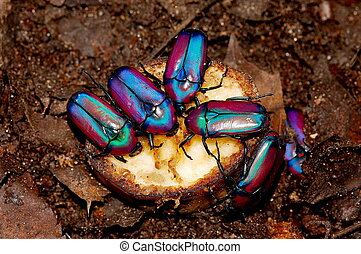 Bright tropical beetles on a piece of banana