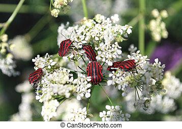 Beetles on white flowers