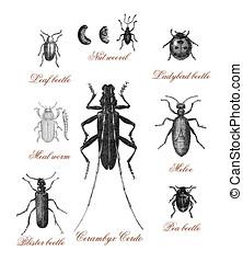 Beetles, vintage print