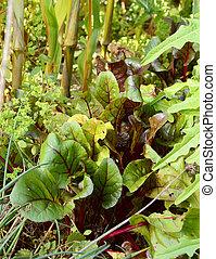 beetroot, groeiende, bladeren, omringde, slaatje