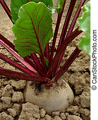 beetroot - growing beetroot on the vegetable bed...