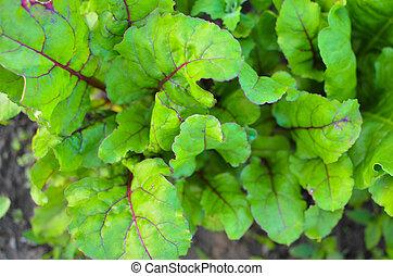 beetroot, planten, bladeren, tuin