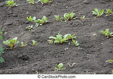 beets growing in the garden