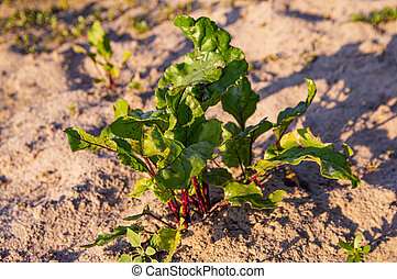 Beets in the garden. Food photo.