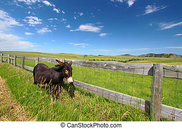 Begging Burro - Custer State Park - One of the famous...