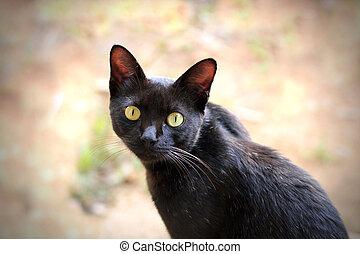 begli occhi, nocciola, gatto, macchina fotografica, nero,...