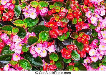begonia, bloemen, achtergrond