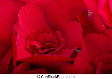 begonia, blomster, rød