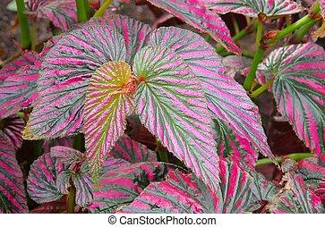 Begonia exotica 01