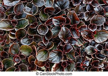 begonia, fibroso, piante