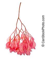 begonia flower cluster