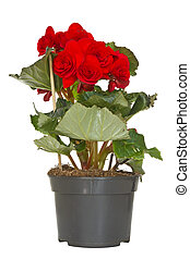 Begonia flower in a pot