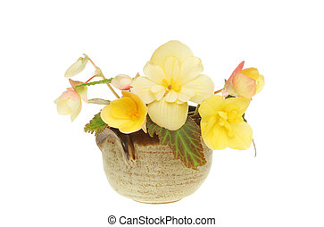 Begonia flowers in a pot