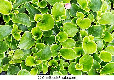 begonia, gebruiken, brink loof, achtergrond