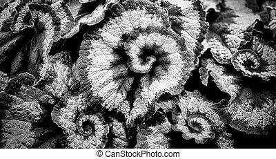 Begonia leaves in black and white