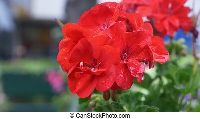 Begonia, pelargonium, geranium in the rain. Beautiful red...