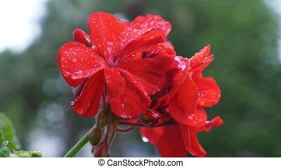 Begonia, pelargonium, geranium in the rain. Beautiful red...