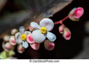 begonie, blumen, closeup