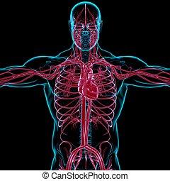 begriff, medizin, blutkreislauf, koerperbau, menschliche , 3d, übertragung, herz