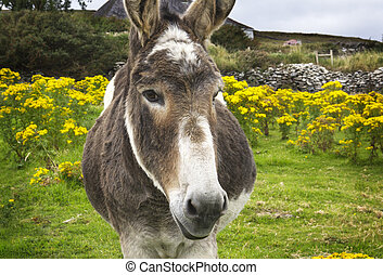 Close up of the head of an Irish donkey with a green field with yellow flowers and a farm house in the background. Horizontal format.
