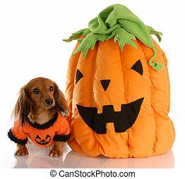 behaart, halloween, auf, langer, angezogene , dachshund, kã¼rbis