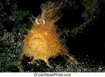 behaarter , frogfish